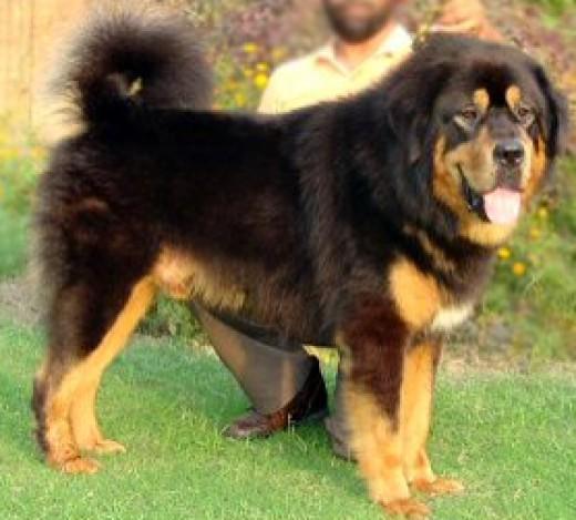 Indian Banjara (Bangar) Mastiff Dog