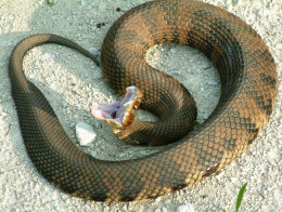 Water Moccasin (Cottonmouth) showing reason for nickname