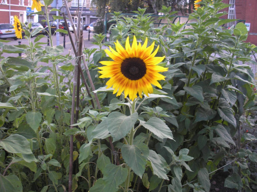 Sunflower growing in Cardiff