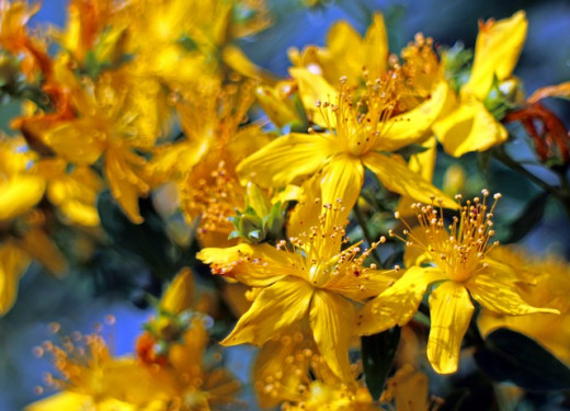St John's wort in bloom