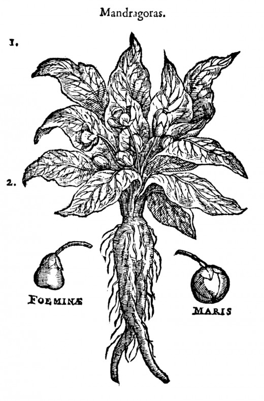 "So-called ""female"" and ""male"" mandrakes, from a 1583 illustration"