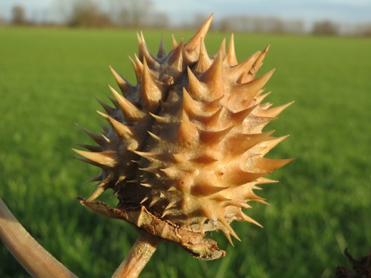 Seed-pod of the Thorn Apple
