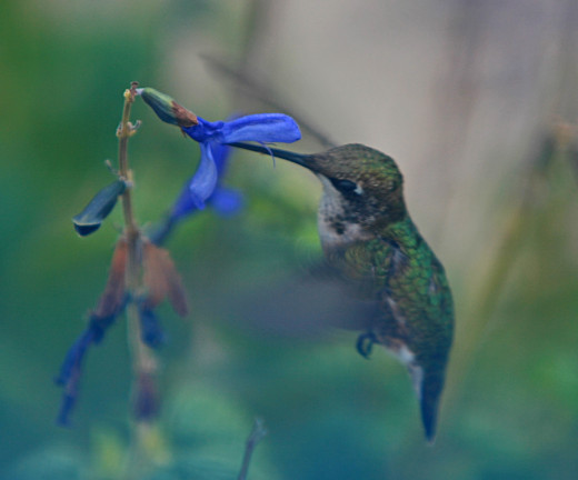"""Back for More of That Sweet """"Black and Blue"""" Nectar"""