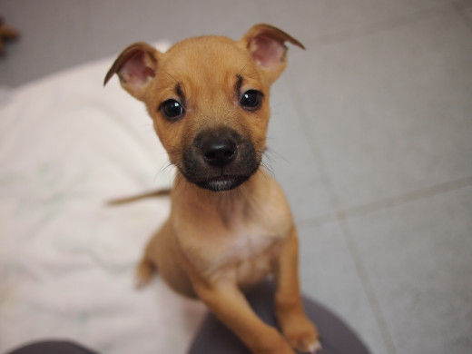 Begin Housebreaking a Puppy Right Away!