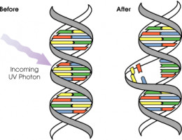 How UVC disables DNA
