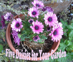Five Daisies for Your Garden