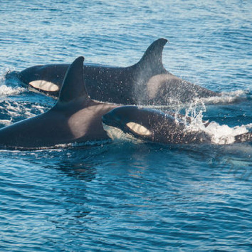 "Killer Whale ""Orca"" pictures from Kenya"