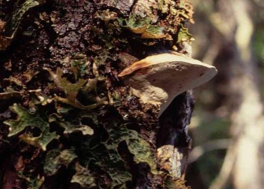 Haploporus Odorus Lookus Likus Biggus Nosus