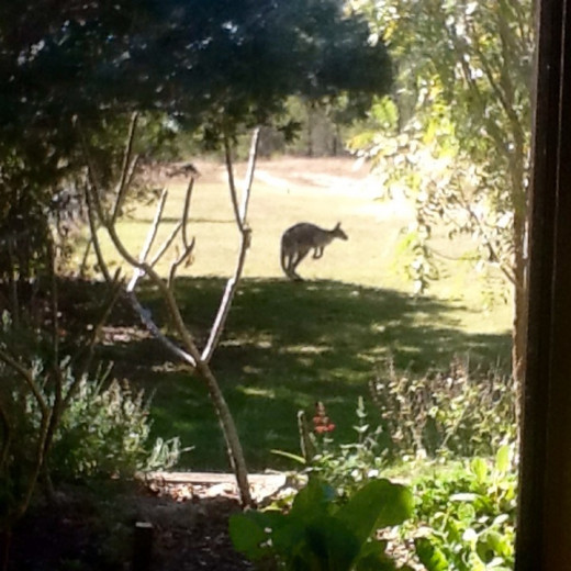 Late afternoon view from or front window. Kangaroos and wallabies seem to be camera shy and never hang around long when I am trying to take their photos.