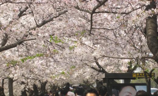 Cherry blossom dating promo code