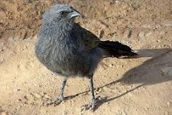 Close up of an apostle bird (lousy jack)