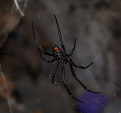 Most painful animal bite or sting in your country? Black Widow spider for U.S.?