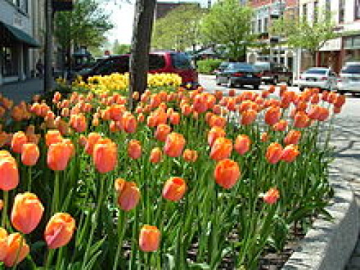 Tulips in downtown Holland
