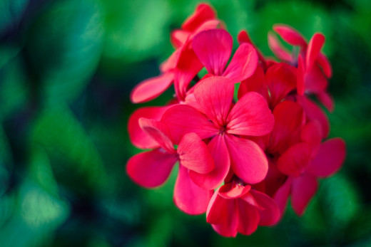 The Floral Family, Geranium.