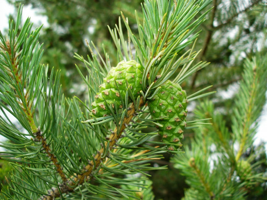 The Pine belongs to The Camphoraceous Family. With its top notes, this oil is great for treating respiratory issues.