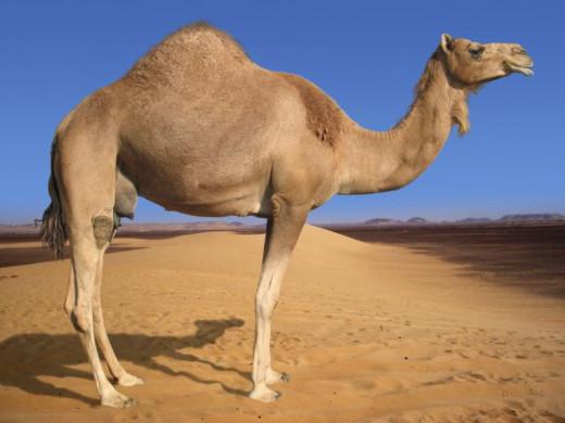 An Arabian Camel
