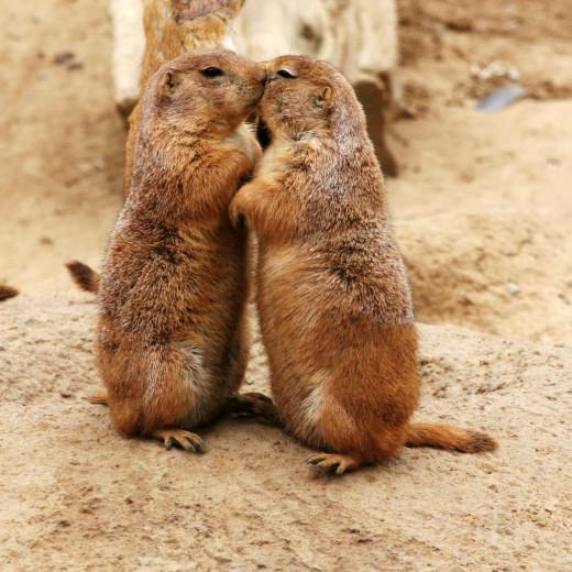 Prairie dogs kissing