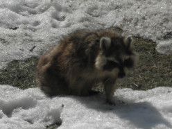 Our Own Rocky Raccoon