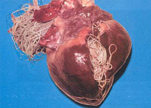 A dog heart invested with mature heart worms.