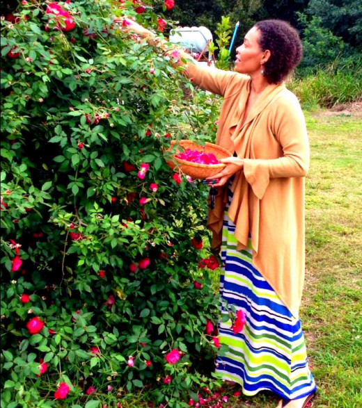 Picking rose petals for herbal blends