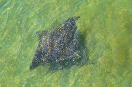 Visitors to Sailfish Marina might see a stingray glide by next to the pier.