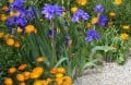 10 Mauve Flowers and Purple Flowers for Your Garden