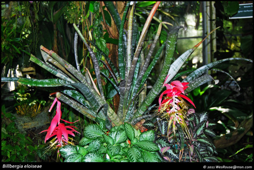 This species has one of the most extraordinary inflorescences (blooms) of all the bromeliads.