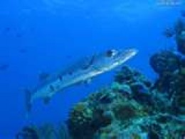 A fish barracuda.