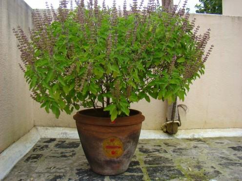 Tulsi Plant