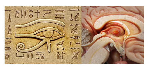 Egyptian Eye of Horus showing striking similarity to the pineal gland