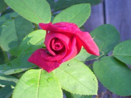 A rose...its velvet petals...the lovely fragrance.  Stop a moment and share!