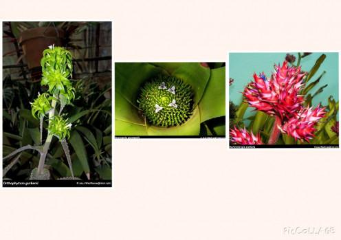 Orthophytum                                             Neoregelia                                    Hohenbergia