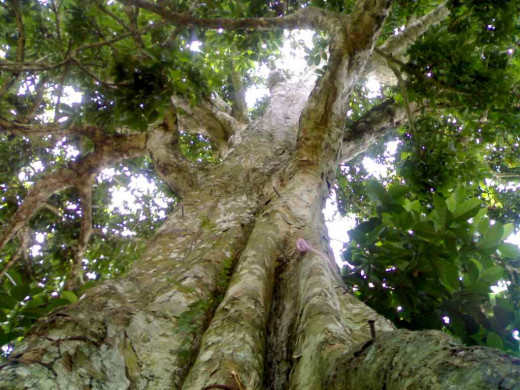 This is a century-old Pili tree at Mampirao, San Jose, Camarines Sur (Bicol, Philippines) Photo Source:www.panoramio.com