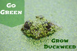 The Benefits of Growing Duckweed