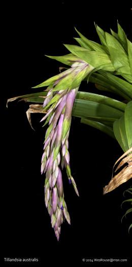 Tillandsia australis