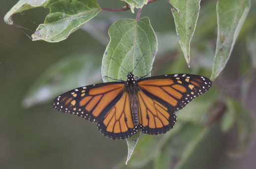 Monarch Butterfly, an Important Pollinator