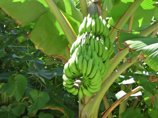Banana plant Maldives