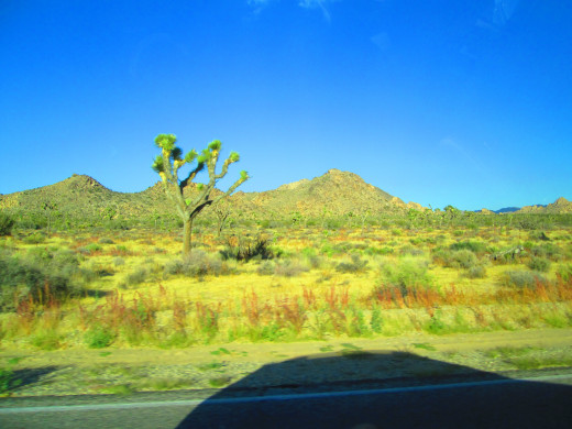 The Joshua tree with hills in the distance.