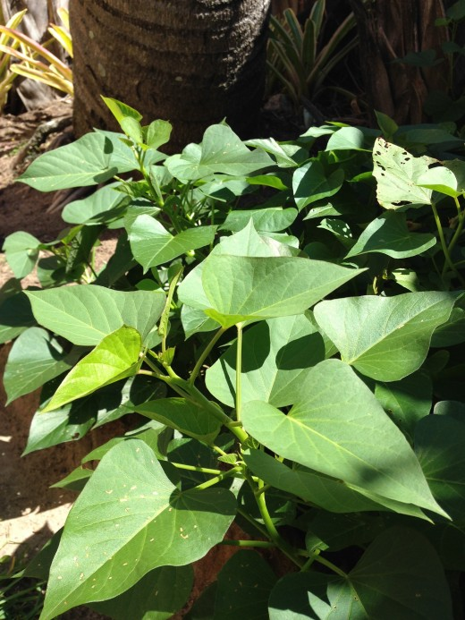 Sweet potato leaves are easy to grow. Image by SayaEducation