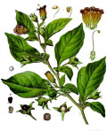 Meet the nightshade family -these magical herbs are femme fatales