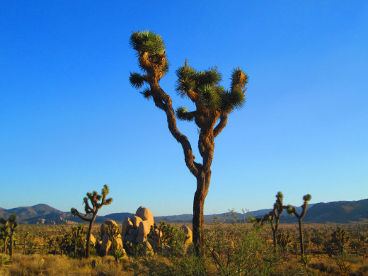 A statuesque Joshua Tree in the later afternoon.