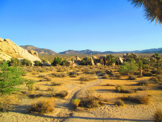 A trail among the Joshua trees.