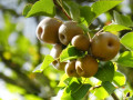 California Recipes: Delicate Pear Pie
