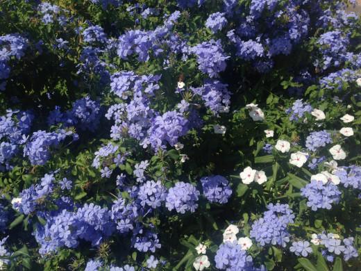 Flowers from my grandmother's garden