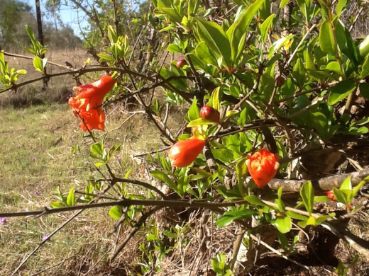 The pomegranate bushes are flowering.