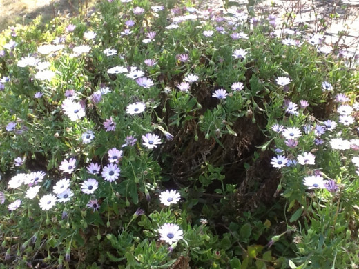 African daisies flowering profusely