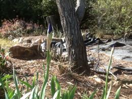 Iris buds ready to bloom