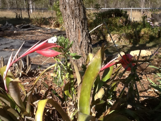 Even the bromeliads are in flower