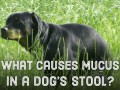 Causes of Mucus in Dog's Stool