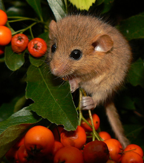 Hazel dormouse (Muscardinus avellanarius) on a Firethorn. This dormouse is native to UK and Europe